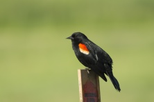 Perched red winged blackbird.