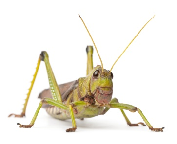 Giant Grasshopper, Tropidacris collaris, in front of white background