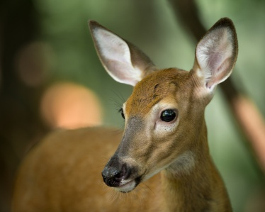 Profile of a young whitetail deer and on alert in the woods.